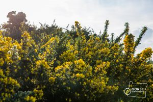 Gorse with GAG logo