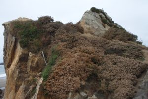 Harris Beach Gorse Removal